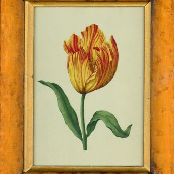 Botanical watercolour featuring a colourful tulip