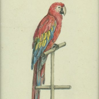 Watercolour of Lady Caroline Herbert's macaw